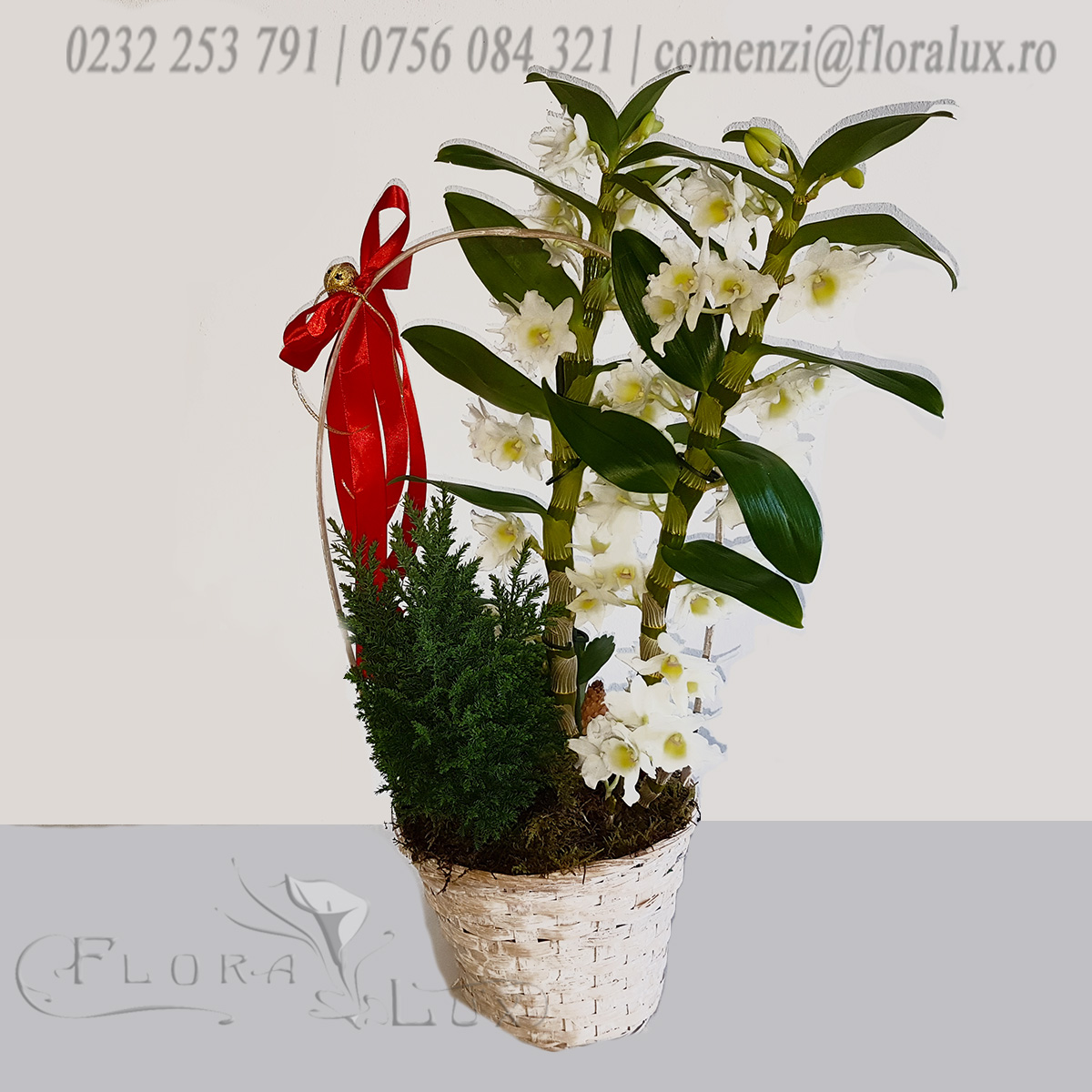 Dendrobium orhidee